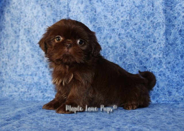 Shih Tzu Colors Maple Lane Pups Michigan Akc Shih Tzus Quality